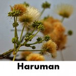 haruman